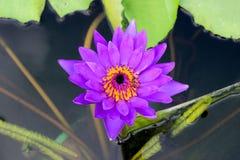 Waterlelie, Lotus en Bij in de vijver Stock Foto