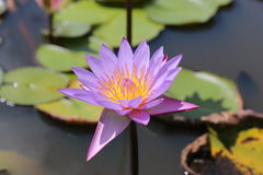 Waterlelie Lotus Flower royalty-vrije stock fotografie