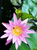 Waterlelie, lotusbloem Royalty-vrije Stock Afbeeldingen