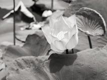 Waterlelie/lotusbloem in natuurlijk milieu in zwart-wit Stock Foto