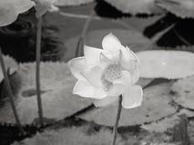Waterlelie/lotusbloem in natuurlijk milieu in zwart-wit Stock Afbeelding