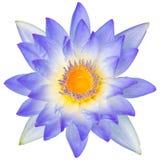 Waterlelie of lotusbloembloem Stock Afbeelding