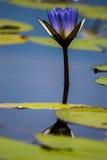 Waterlelie met bezinning royalty-vrije stock afbeeldingen