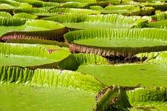 Waterlelie, Nenuphar Stock Foto's