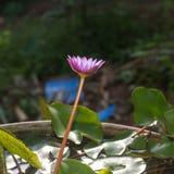 Waterlelie of Nymphaeaceae Royalty-vrije Stock Afbeeldingen