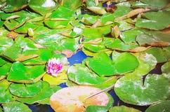 Waterlelie onder de bladeren in de vijver stock fotografie