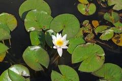 Waterlelie onder het bladerenclose-up Stock Fotografie