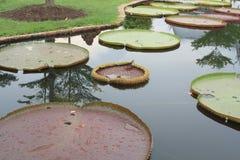 Waterlelie op een vijver Royalty-vrije Stock Foto's