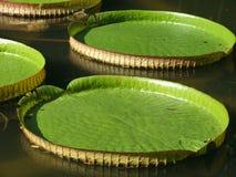 Waterlelie (regia van Victoria) Stock Afbeelding