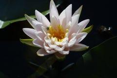 Waterlelie voordien in volledige bloei royalty-vrije stock fotografie