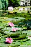 Waterlelieachtergrond Royalty-vrije Stock Fotografie