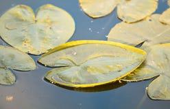 Waterleliebladeren in de vijver Royalty-vrije Stock Foto