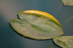 Waterleliebladeren in de vijver Royalty-vrije Stock Afbeeldingen