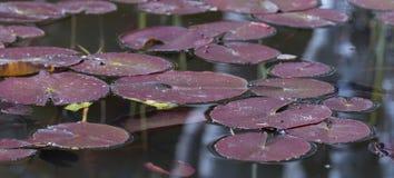 Waterleliebladeren in de vijver Royalty-vrije Stock Foto's