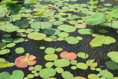 Waterleliebladeren in regendalingen Royalty-vrije Stock Foto