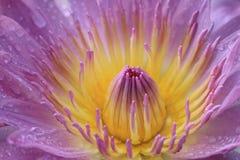 Waterleliebloem met regendruppel Stock Foto