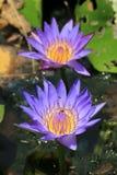 Waterleliebloemen Stock Afbeeldingen
