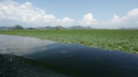 Waterleliebloemen die veel van een natuurreservaatmeer behandelen stock footage