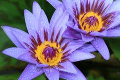 Waterleliebloemen met regendruppel Royalty-vrije Stock Foto's