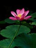 Waterleliebloesem Royalty-vrije Stock Afbeelding