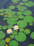 Waterlelies Royalty-vrije Stock Afbeelding