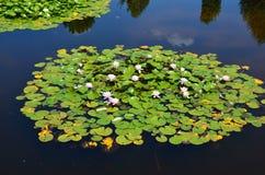 Waterlelies Stock Afbeelding