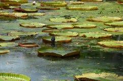 Waterlelies 1 Stock Foto's