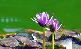 Waterlelies Stock Afbeeldingen