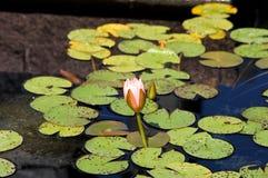 Waterlelies Stock Foto's
