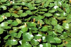 Waterlelies Royalty-vrije Stock Afbeeldingen