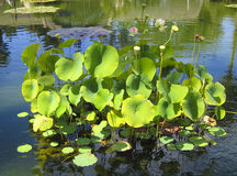 Waterlelies in Californië Royalty-vrije Stock Foto's