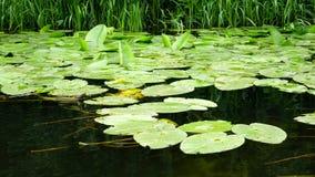 Waterlelies in de rivier op een moeras stock videobeelden