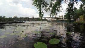 Waterlelies dichtbij rivierdok stock videobeelden