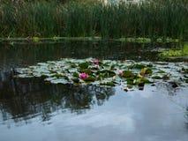 Waterlelies in een klein moeras stock afbeelding