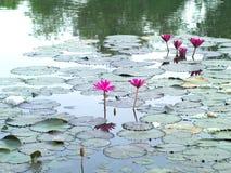 Waterlelies in een pool Stock Afbeeldingen