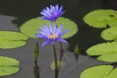 Waterlelies in een vijver Stock Foto