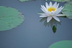 Waterlelies en Bezinning over het water Stock Foto's