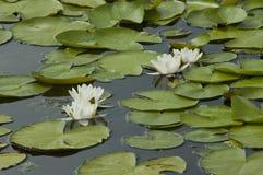 Waterlelies en bladeren in een vijver stock afbeeldingen