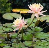 Waterlelies en Kikkers Royalty-vrije Stock Afbeeldingen