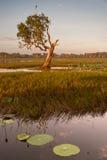 Waterlelies en knoestige boom bij Gele Rivier billabong, Zuidelijk Stock Afbeeldingen