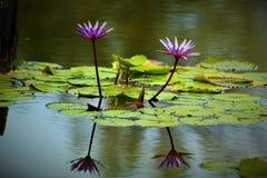 Waterlelies en vijverbezinning Royalty-vrije Stock Fotografie