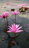 Waterlelies in het Sukhothai-Geschiedenismuseum Royalty-vrije Stock Foto's