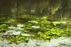 Waterlelies in het water Stock Afbeelding