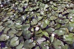 Waterlelies - nymphaeaceae of leliestootkussen in Shefield-Meer, Uckfield, het Verenigd Koninkrijk Stock Afbeelding