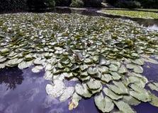 Waterlelies - nymphaeaceae of leliestootkussen in Shefield-Meer, Uckfield, het Verenigd Koninkrijk stock foto's