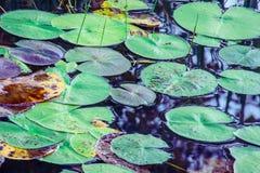 Waterlelies - Nymphaeaceae op donker water Royalty-vrije Stock Afbeeldingen