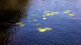 Waterlelies op de meeroppervlakte stock video