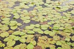 Waterlelies op de meeroppervlakte royalty-vrije stock afbeelding