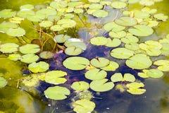 Waterlelies op de rand van het meer royalty-vrije stock afbeelding