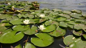 Waterlelies op een meer stock footage